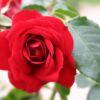 Kletterrose 'Amadeus'  ® – Rosa 'Amadeus' ®