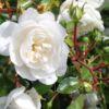 Bodendeckerrose 'Snow Ballet' ® – Rosa 'Snow Ballet' ®