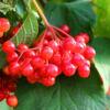 krasnaya-grozd