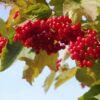 krasnaya-grozd1