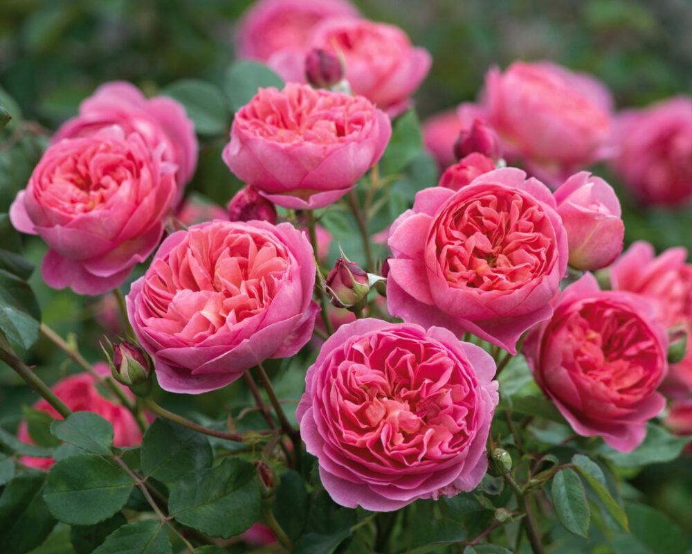 Английские (остины) розы