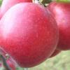 сорт яблони лобо фото и описание со