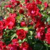 Canadian Explorer Rose Champlain – Rosa Champlain