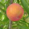 persikovaya-sliva
