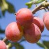 persikovaya-sliva1