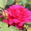 Englische Rose 'Sophy's Rose' – Rosa 'Sophy's Rose'