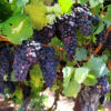 44243100 – ripe clusters of sweet red grapes isabella