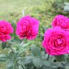 Edelrose 'Big Purple' ® – Rosa 'Big Purple' ®