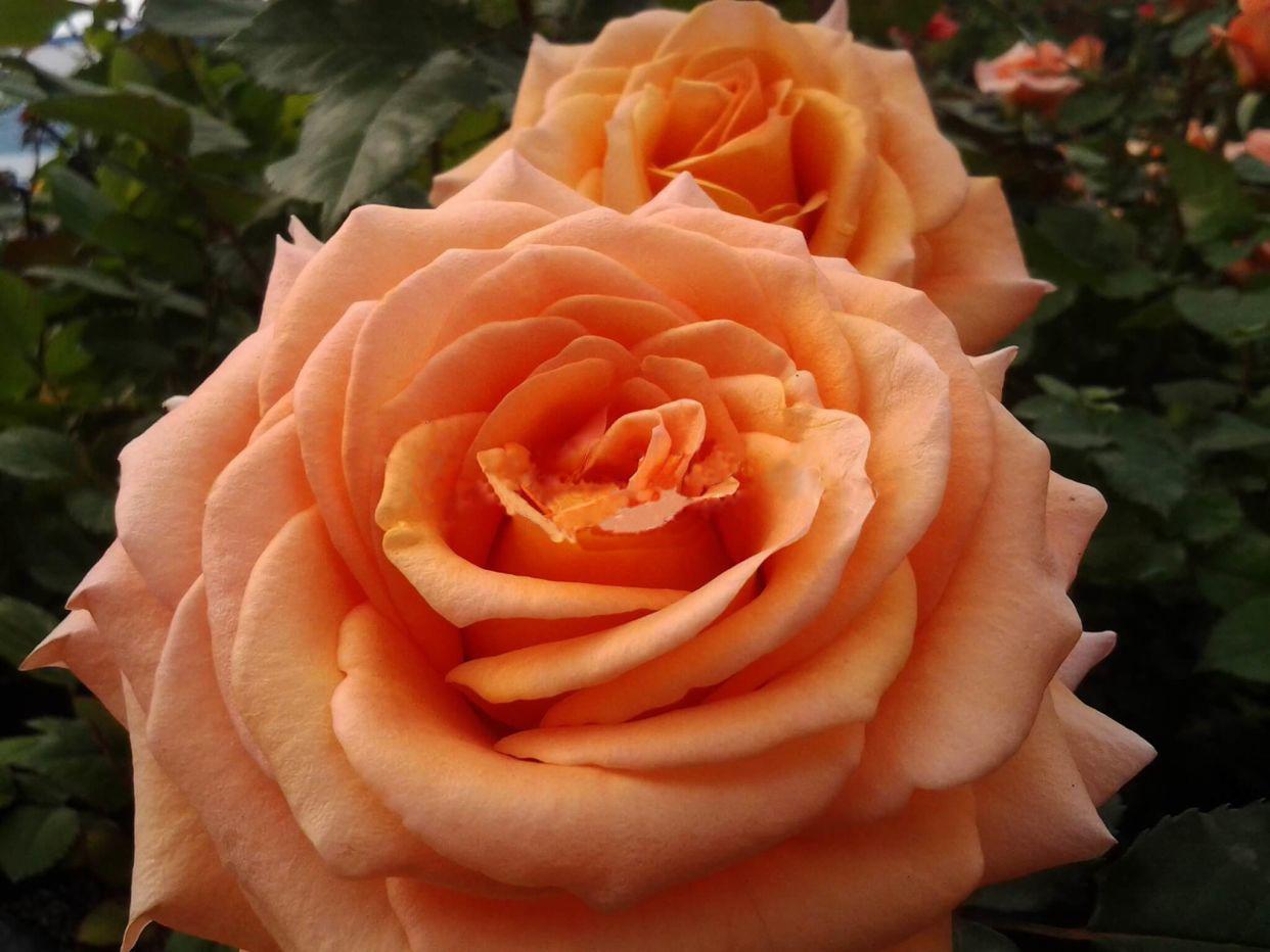 это роза эльдорадо фото описание настроения