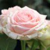 Strauchrose 'First Lady' ® – Rosa 'First Lady' ®