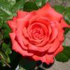 Edelrose 'Holsteinperle' ® – Rosa 'Holsteinperle'