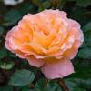 rozmari-roz-1