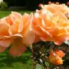 rozmari-roz