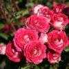 Beetrose 'Schöne Koblenzerin' ® / 'Marie Rottrová' – Rosa 'Schöne Koblenzerin' ® / 'Marie Rottrová'