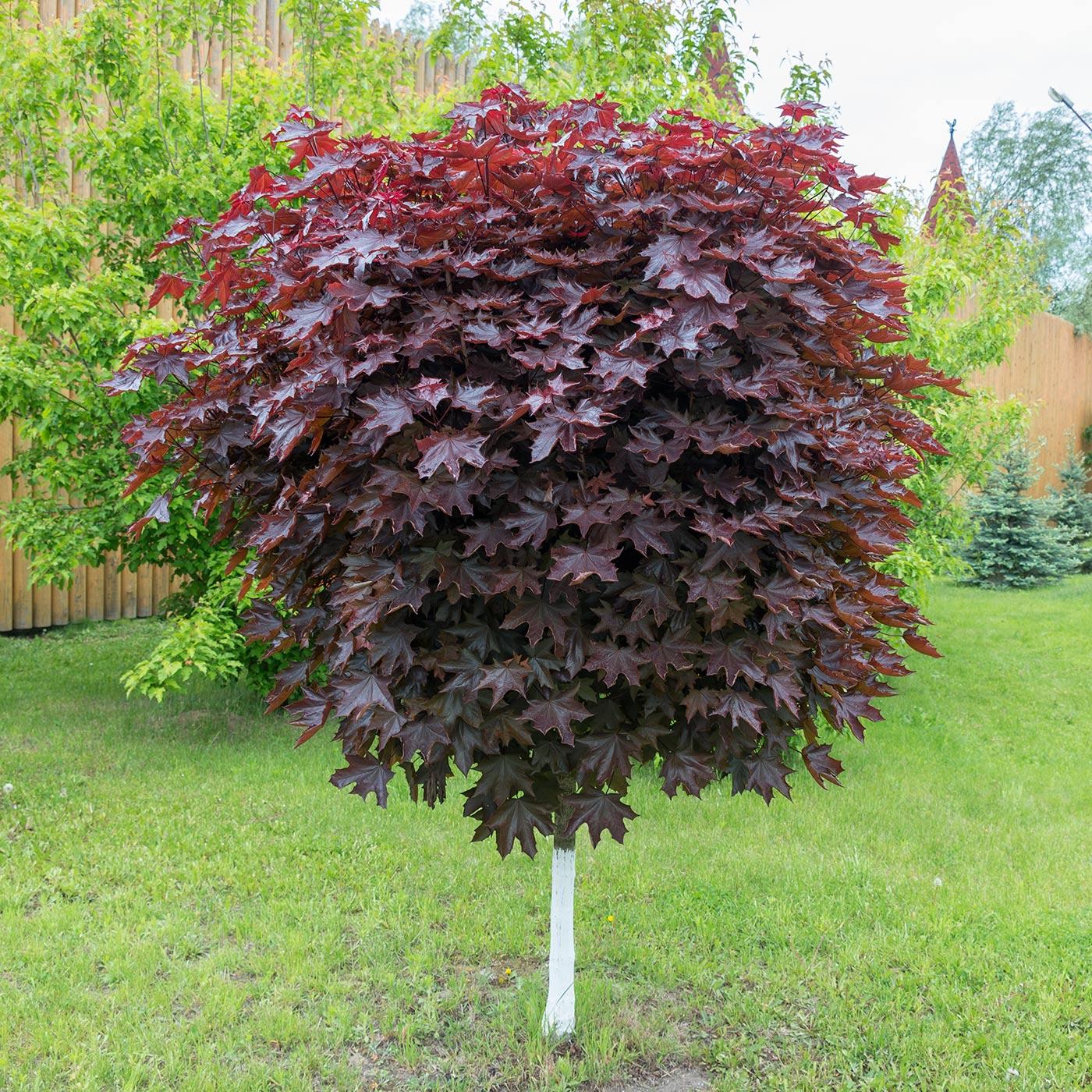 Декоративные деревья для сибири фото и названия