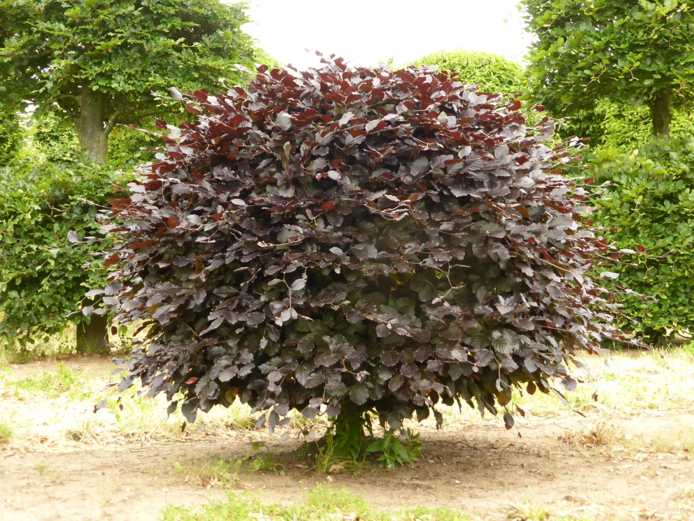 декоративные лиственные деревья для сада фото с названиями фига притащил грязь