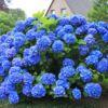 Ballhortensie / Bauernhortensie 'Mathilde Gütges' (blau) – Hydrangea macrophylla 'Mathilde Gütges'