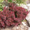 raugerskis-atropurpurea-nana-1