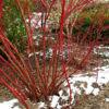 sibirika-variegata-5