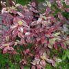 sibirika-variegata1