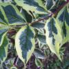 variegata-2