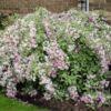 variegata-3