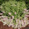 variegata-4