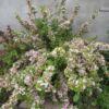 variegata-5