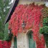 vinograd-vichi-11